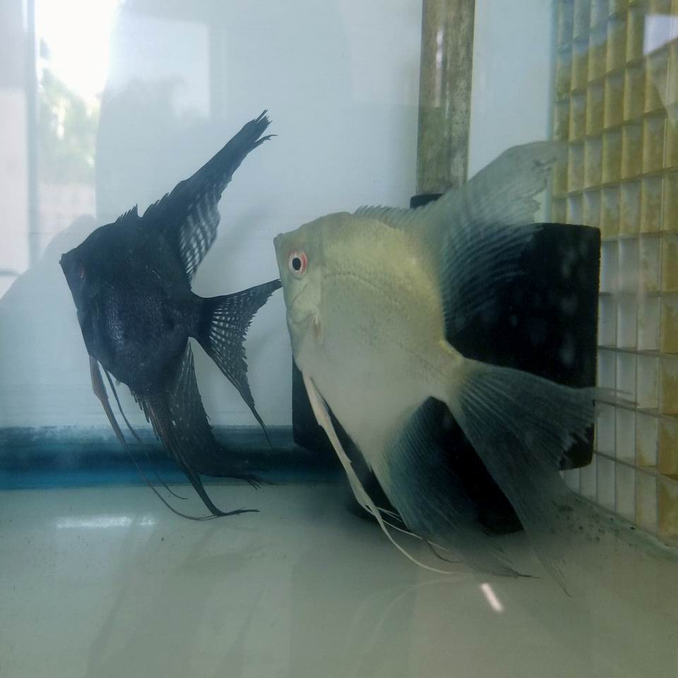 Proven Pair Philippine Blues Pinoy Veil x Blue Ghost Veil (albino genes)