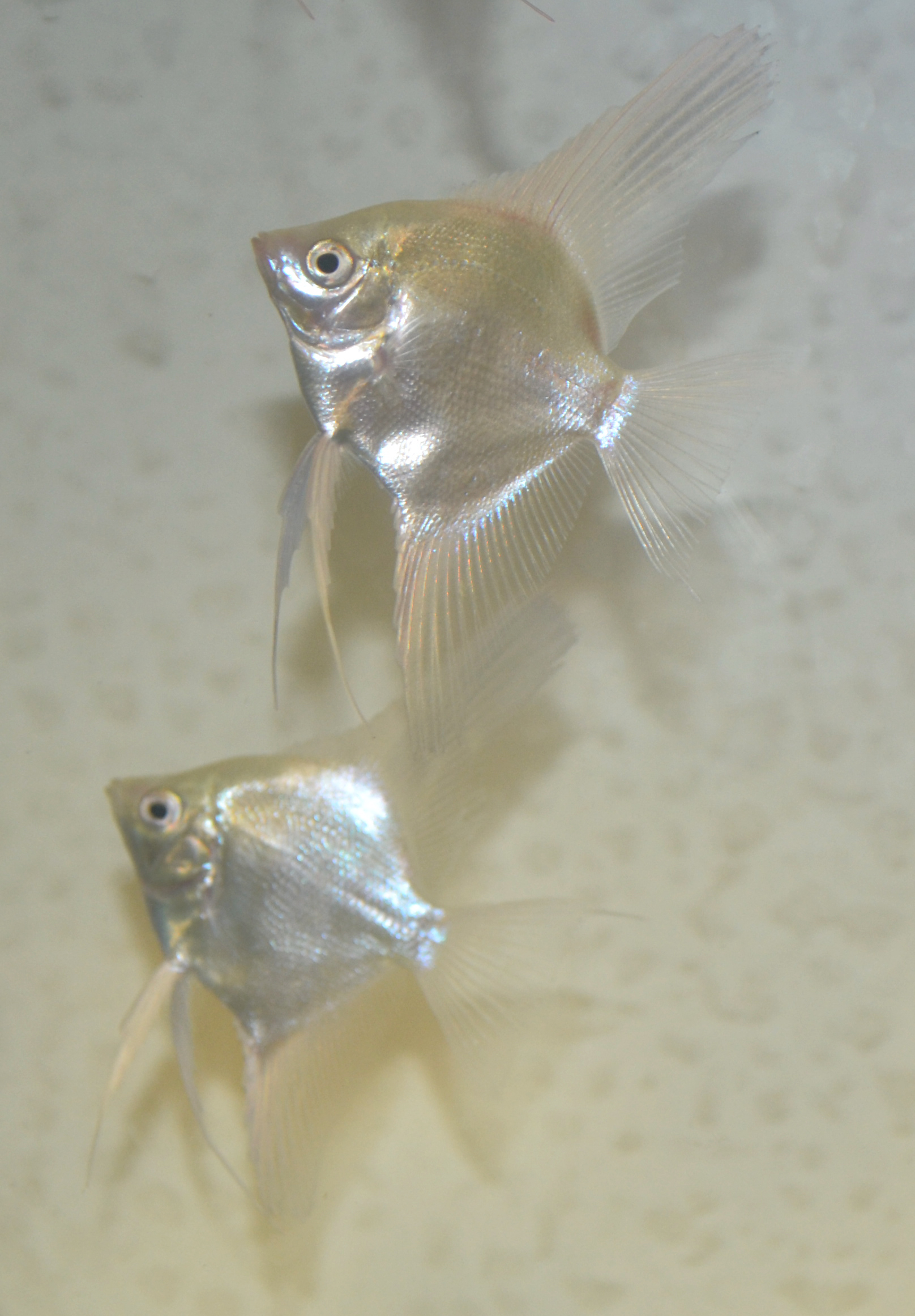 Platinum Angelfish small (dime size body)