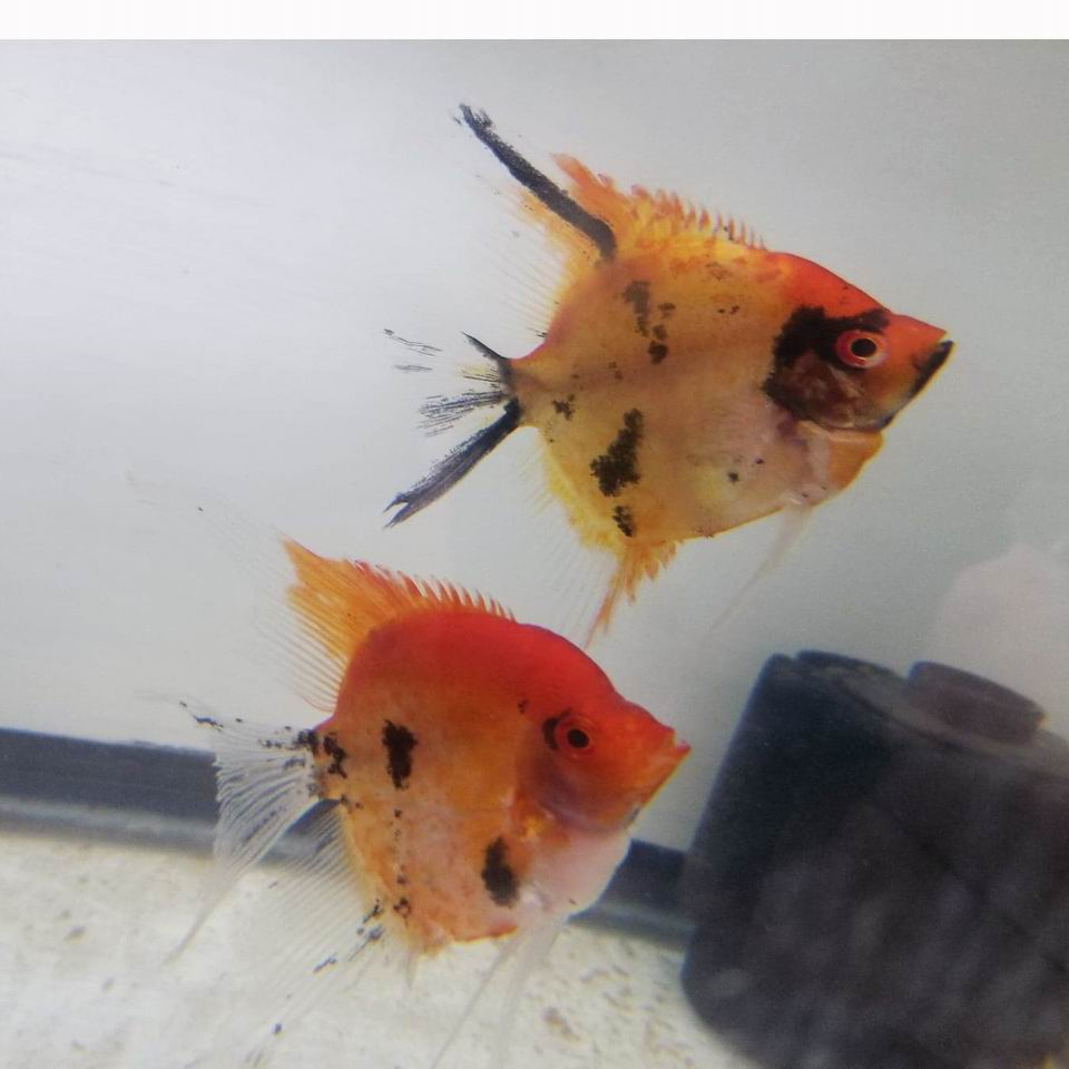 Red Spotted Koi pair 13B