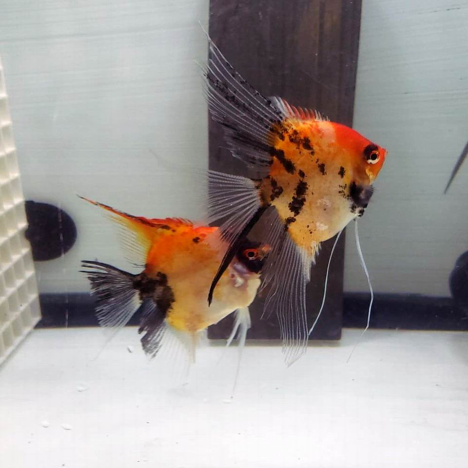 Red Spotted Koi pair 8B-5