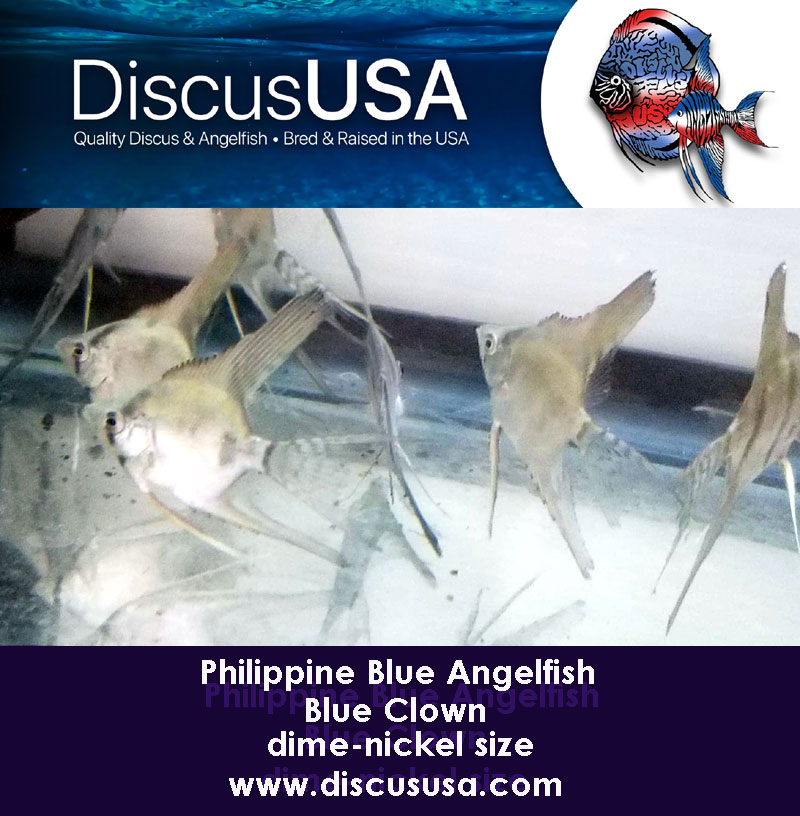 Blue Clown Angelfish small (dime to nickel size) Pack of 5