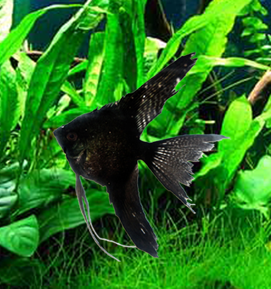 Black Angelfish - Double Dark Philippine Blue (med) quarter size