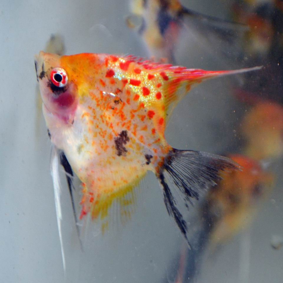 RED SPOTTED KOI STD FIN ANGELFISH (Young adults)