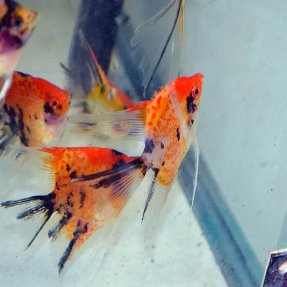 RED SPOTTED KOI ANGELFISH Small (dime size)