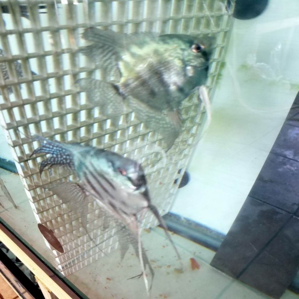 Proven Pair Blue Clown Angelfish #9B