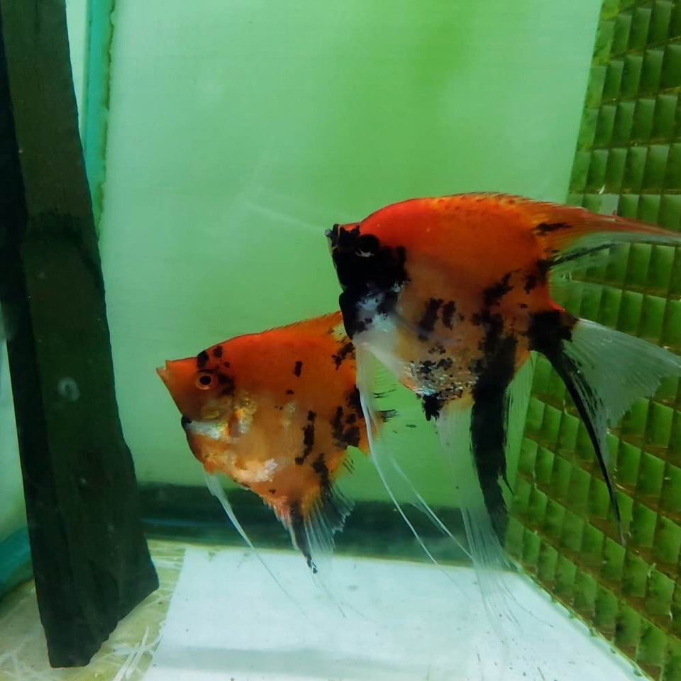 High Coverage Super Red Koi Proven Pair 10A