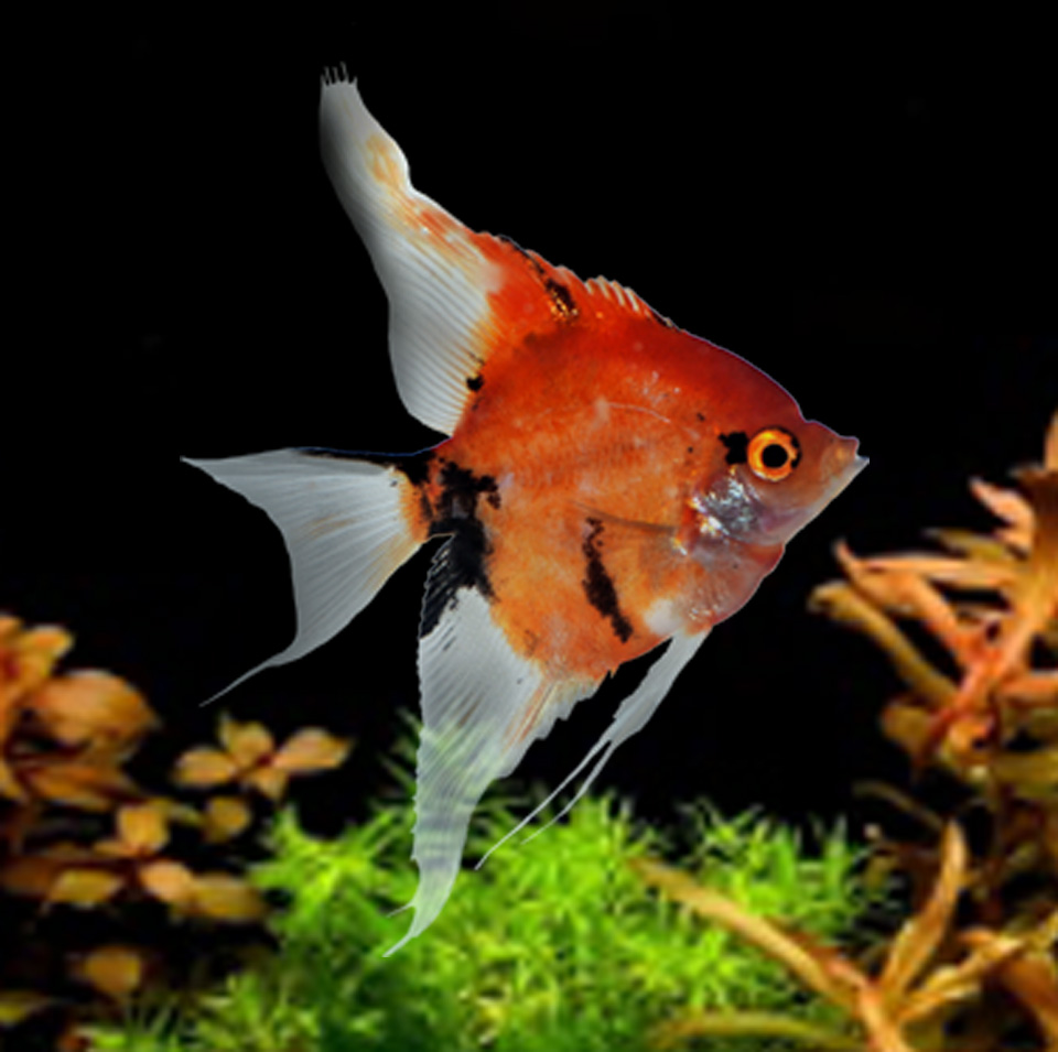 PREMIUM Super Red Koi Angelfish Adult