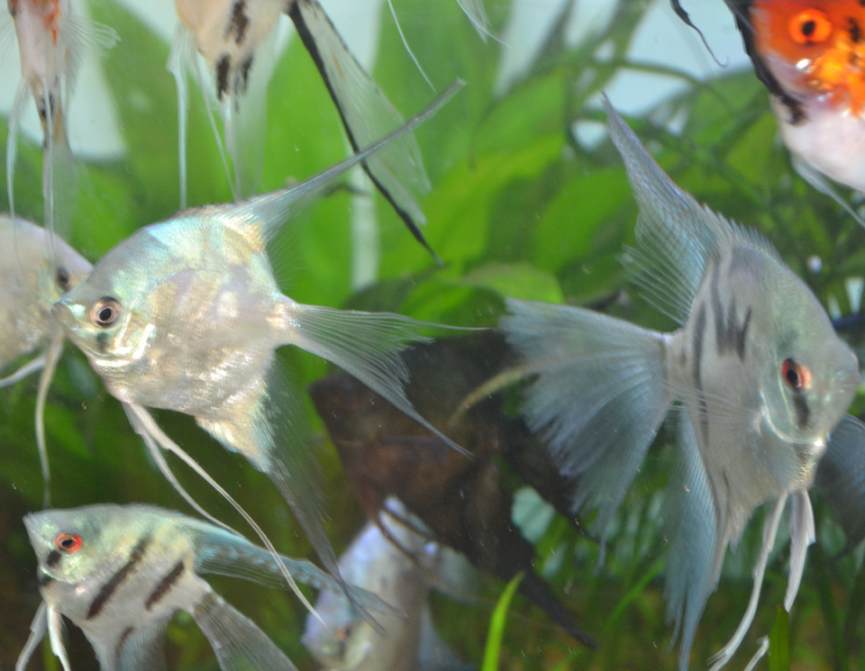 ASSORTED PHILIPPINE BLUE ANGELFISH PRE-BREEDERS
