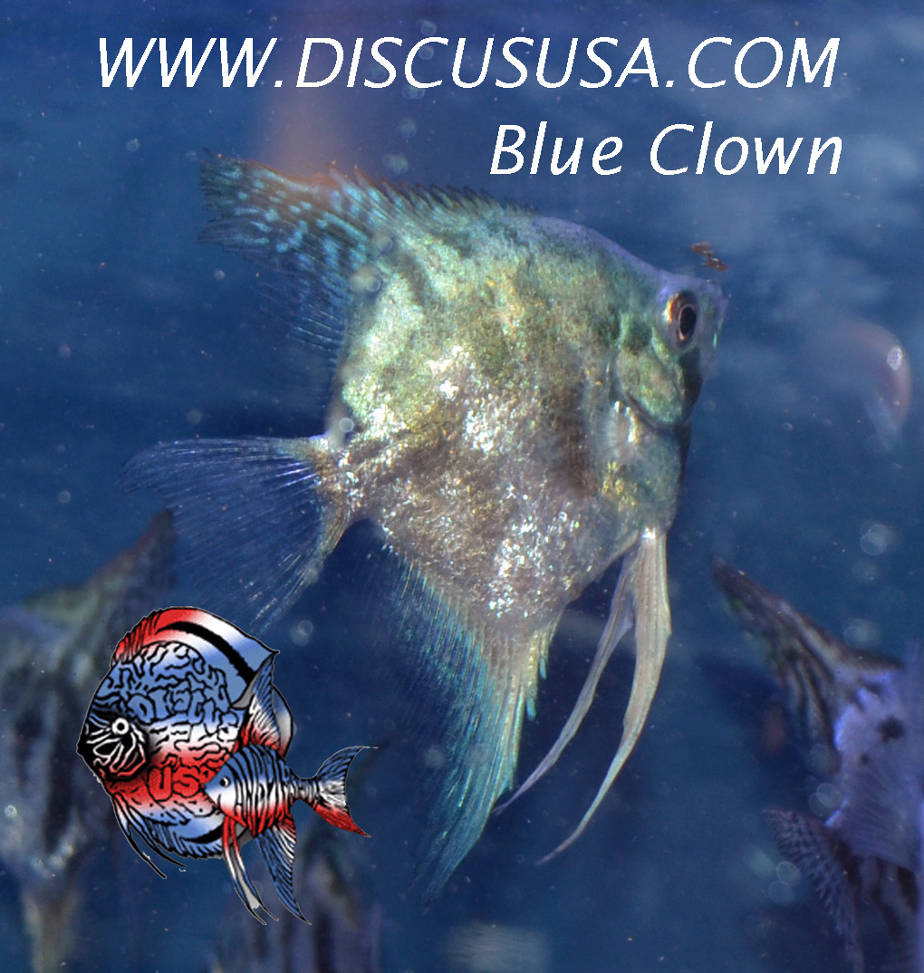 Philippine Blue Ghost/Clown Med.(quarter 1/2 DOLLAR body))