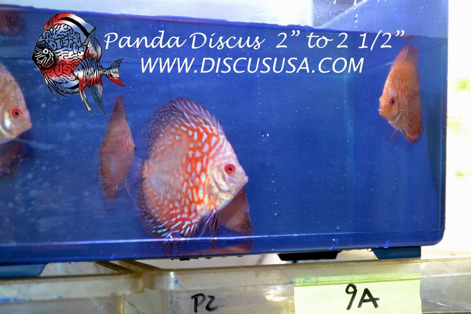 "2"" - 2 1/2"" Red Panda Discus (Pack of 5)"