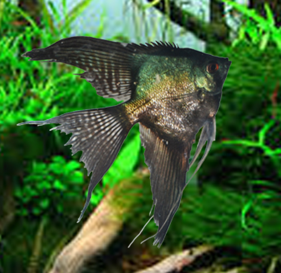 "Pinoy Angelfish Pre-Breeders Approx 2"" body size"