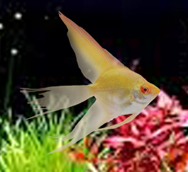 Albino Pinoy Veil Angelfish med (dime-nickel size)