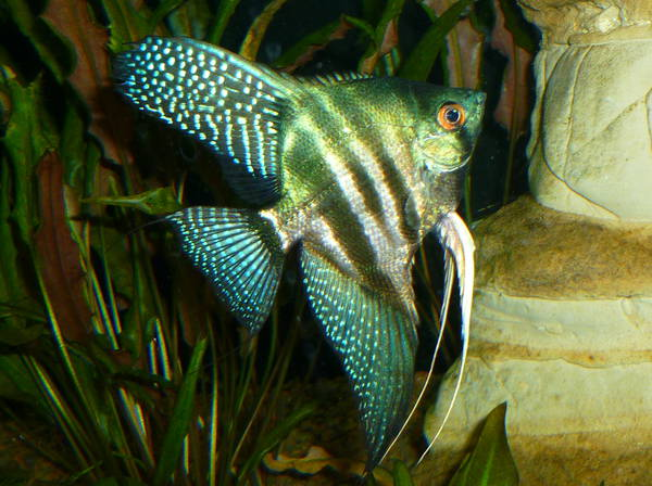 Pinoy Zebra Veil Angelfish - small (dime = nickel size) - Click Image to Close