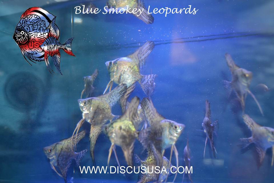 *Pack of 6* Blue Smokey Leopard Angels with FREE SHIPPING