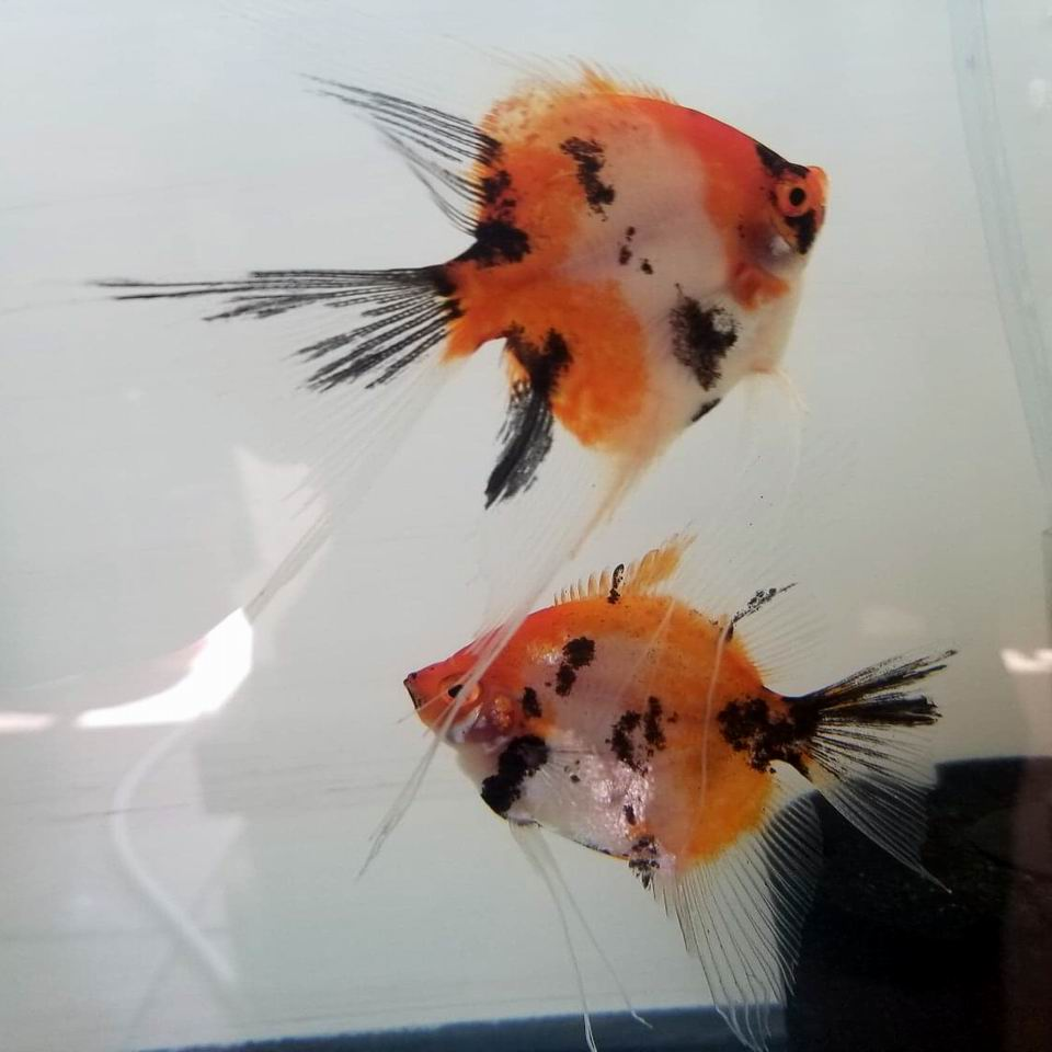 Tri Color Koi Pair 10G